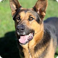German Shepherd Dog Dog for adoption in Ventura, California - Shady