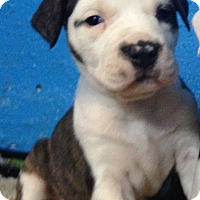 Adopt A Pet :: CHANEL'S LITTER (6) - Pompton lakes, NJ