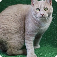Adopt A Pet :: Mittens - South Haven, MI