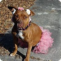 Boxer/Labrador Retriever Mix Dog for adoption in Darlington, South Carolina - Cassie
