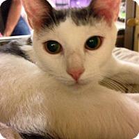 Adopt A Pet :: Mia - PetSmart - Voorhees, NJ