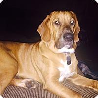 Adopt A Pet :: Taz - Bellingham, WA