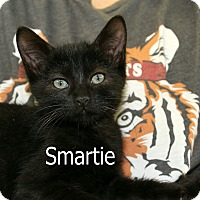 Domestic Shorthair Kitten for adoption in Wichita Falls, Texas - Smartie