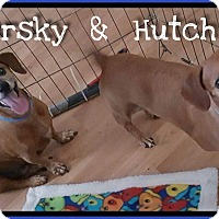 Dachshund Dog for adoption in Green Cove Springs, Florida - Starksy & Hutch