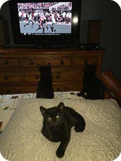 Domestic Shorthair Kitten for adoption in Naugatuck, Connecticut - Boo