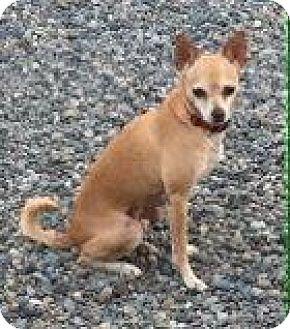 Miniature Pinscher/Chihuahua Mix Dog for adoption in Snohomish, Washington - Marty- smart & social mini!
