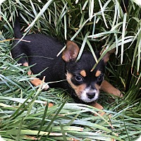 Feist/Beagle Mix Puppy for adoption in Hagerstown, Maryland - Colt  (ETAA)