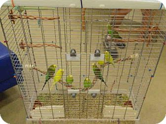 Parakeet - Other for adoption in Vero Beach, Florida - A106685