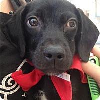Adopt A Pet :: Bo - BONITA, CA