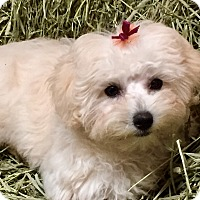 Adopt A Pet :: Tenley - Irvine, CA
