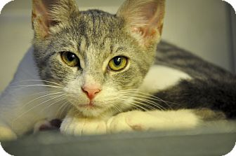 Domestic Shorthair Kitten for adoption in New Smyrna Beach, Florida - ANDREW (low adoption fee)