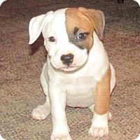 Adopt A Pet :: Amber - Grand Rapids, MI