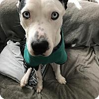 Catahoula Leopard Dog Mix Dog for adoption in Seattle, Washington - Odie