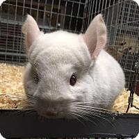 Adopt A Pet :: 4m pink white male chinchilla - Hammond, IN