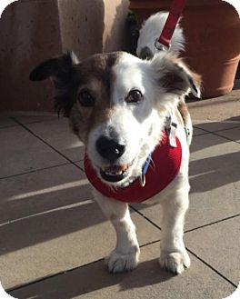 Corgi/Shepherd (Unknown Type) Mix Dog for adoption in Dana Point, California - Murphy
