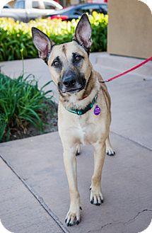 Belgian Malinois Mix Dog for adoption in Fremont, California - Nitro D5109 (was D5135)