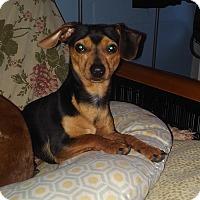 Adopt A Pet :: Peanut - Bridgeton, MO