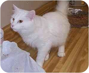 Domestic Mediumhair Cat for adoption in Chattanooga, Tennessee - Nicholos