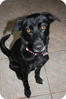 Labrador Retriever Mix Dog for adoption in Stilwell, Oklahoma - Sophie