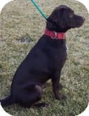 Labrador Retriever Mix Dog for adoption in Lewisville, Indiana - Chipper