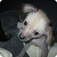 Adopt A Pet :: Toepo - Apex, NC