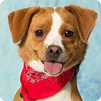 Adopt A Pet :: Amara - Gilbert, AZ