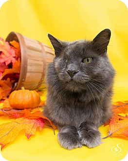 Domestic Mediumhair Cat for adoption in Fort Collins, Colorado - Sturgis