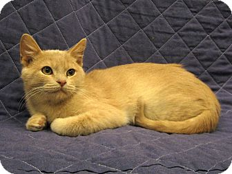 Domestic Shorthair Kitten for adoption in Redwood Falls, Minnesota - Carmel