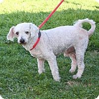 Terrier (Unknown Type, Medium)/Poodle (Miniature) Mix Dog for adoption in San Antonio, Texas - 320825 Ronin