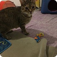 American Shorthair Cat for adoption in Livonia, Michigan - Lana
