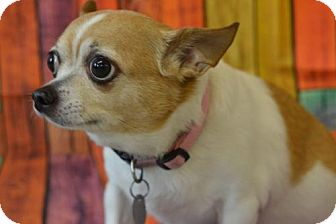 Chihuahua Dog for adoption in South Amana, Iowa - Holly