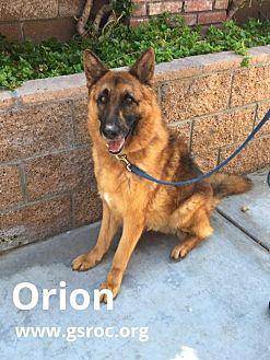 German Shepherd Dog Dog for adoption in Newport Beach, California - Orion