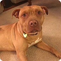 Adopt A Pet :: Courage - Fairfax Station, VA