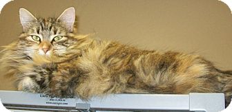 Domestic Longhair Cat for adoption in Grants Pass, Oregon - Tawny