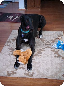 Greyhound Dog for adoption in Tucson, Arizona - Fancy
