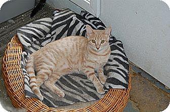 American Shorthair Cat for adoption in Jackson, Mississippi - Sophie Kurys
