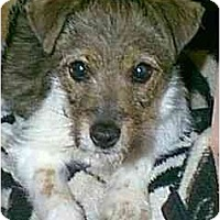 Adopt A Pet :: Diamond - dewey, AZ
