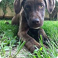 Adopt A Pet :: Brodie - Lewisville, IN