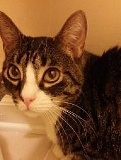 Domestic Shorthair Cat for adoption in Old Bridge, New Jersey - Junior