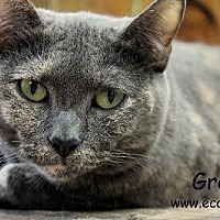 Domestic Shorthair Cat for adoption in Pensacola, Florida - Grace