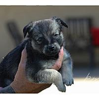Adopt A Pet :: Samantha (Sammie) Adams - Tempe, AZ