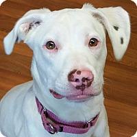 Adopt A Pet :: Athena - Lisbon, OH