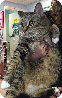 Domestic Mediumhair Cat for adoption in Rustburg, Virginia - Jojo-Fostered
