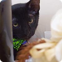 Domestic Shorthair Kitten for adoption in Oviedo, Florida - Merlin