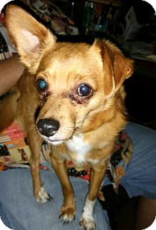 Chihuahua/Terrier (Unknown Type, Medium) Mix Dog for adoption in Anderson, South Carolina - YODA