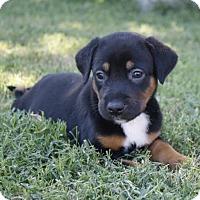 Adopt A Pet :: Chandler - McKinney, TX