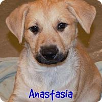 Labrador Retriever/Belgian Malinois Mix Puppy for adoption in Abbeville, Louisiana - Anastasia