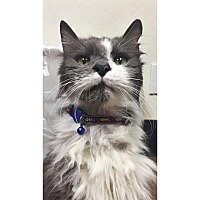 Domestic Mediumhair Cat for adoption in Chico, California - Quigley