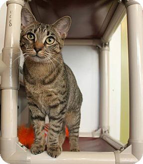 Domestic Shorthair Cat for adoption in East Brunswick, New Jersey - Azeri