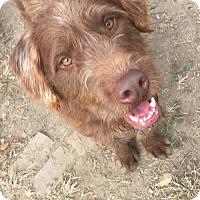 Schnauzer (Standard)/Australian Shepherd Mix Dog for adoption in Baltimore, Maryland - Bear